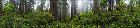 Foggy Morning in the Redwoods
